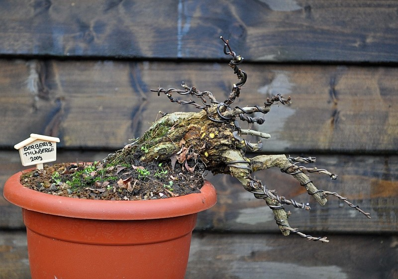 A YEAR IN THE LIFE OF A NEW BERBERIS SHOHIN. 28-1-213