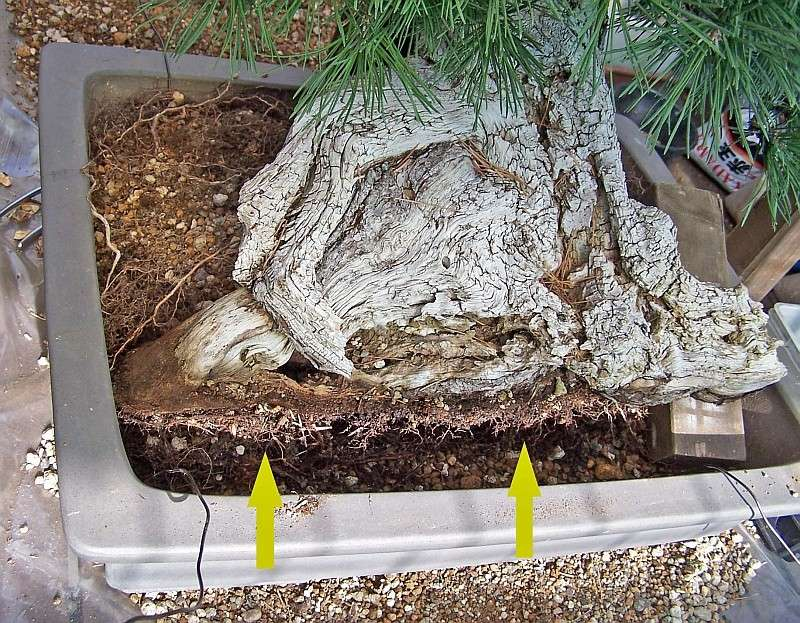 """LAST PICTURES OF MY MUGO PINE THE """"SWAN"""". - Page 2 30-8-210"""