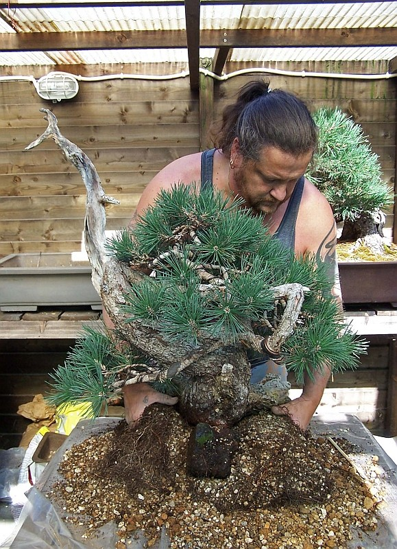 """LAST PICTURES OF MY MUGO PINE THE """"SWAN"""". - Page 2 30-8-211"""