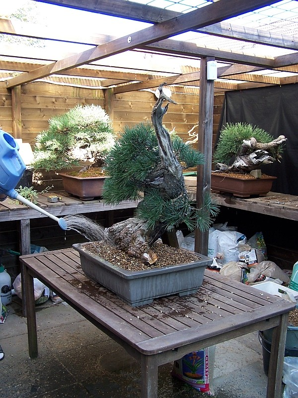 """LAST PICTURES OF MY MUGO PINE THE """"SWAN"""". - Page 2 30-8-213"""