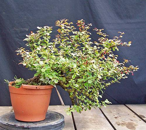 A YEAR IN THE LIFE OF A NEW BERBERIS SHOHIN. 5-9-2010