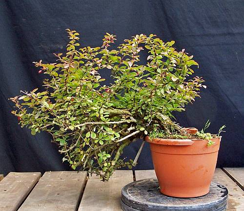 A YEAR IN THE LIFE OF A NEW BERBERIS SHOHIN. 5-9-2011