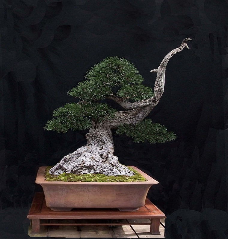 """LAST PICTURES OF MY MUGO PINE THE """"SWAN"""". - Page 2 Septem10"""