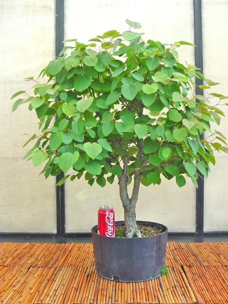 Katsura tree Update C_japo10