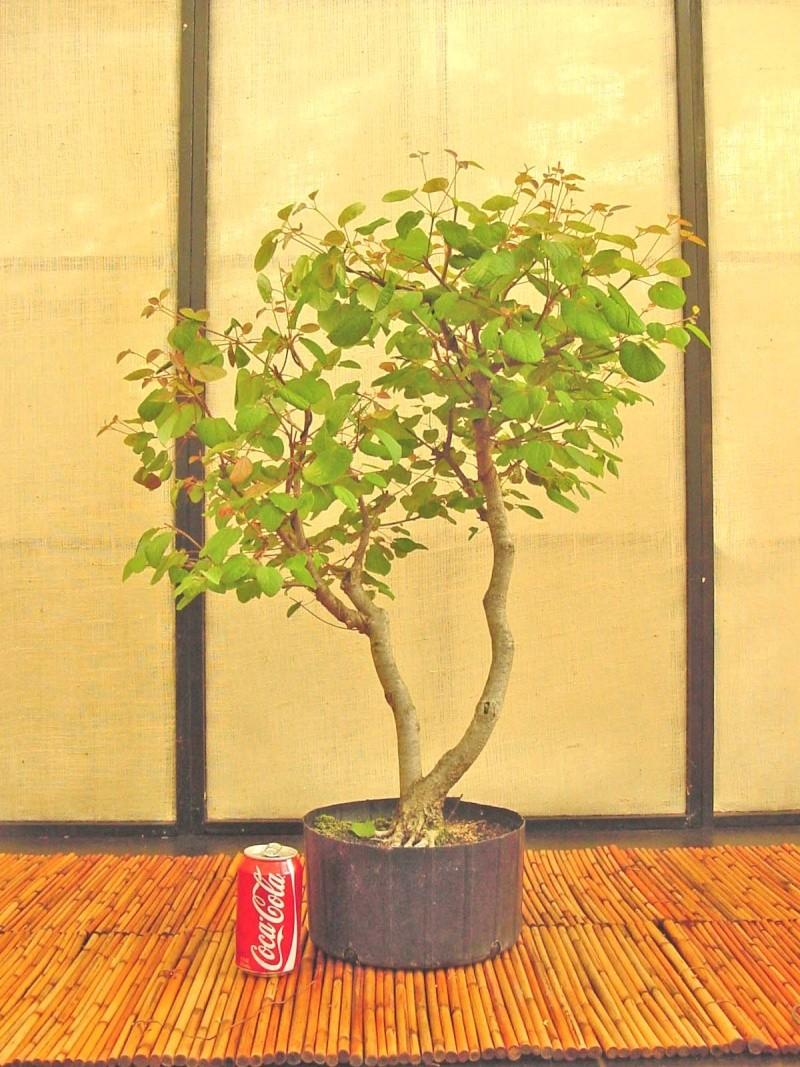 Katsura tree Update C_japo11