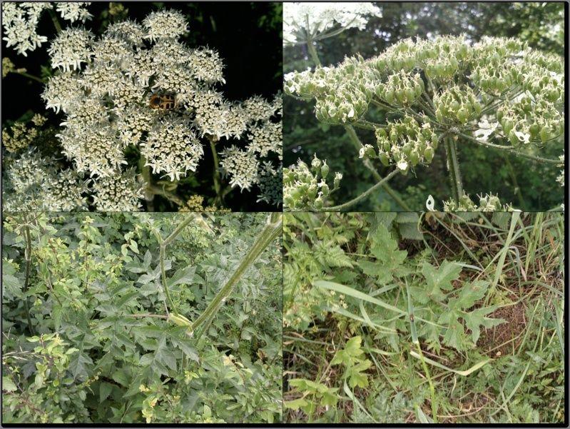 Berce spondyle / Heracleum sphondylium Berce10