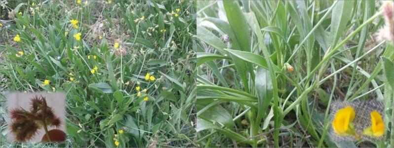 Chenillette poilue / Scorpiurus muricatus subsp. subvillosus Fab10