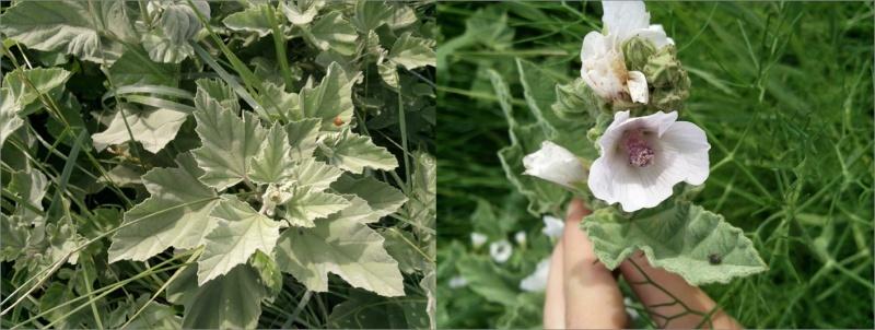 Guimauve officinale / Althaea officinalis Guimau10