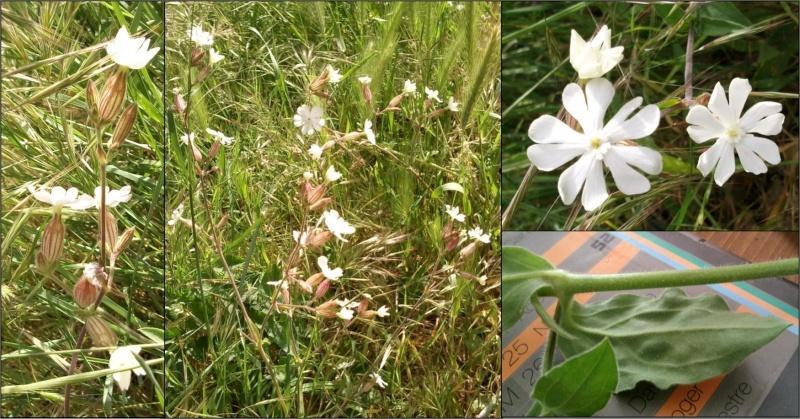 Silene à feuilles larges (=Lychnis à grosses graines) / Silene latifolia Lychni10