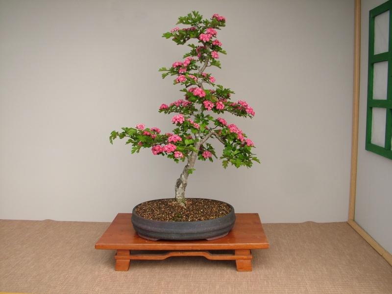Red Thorn in flower Dscf5240