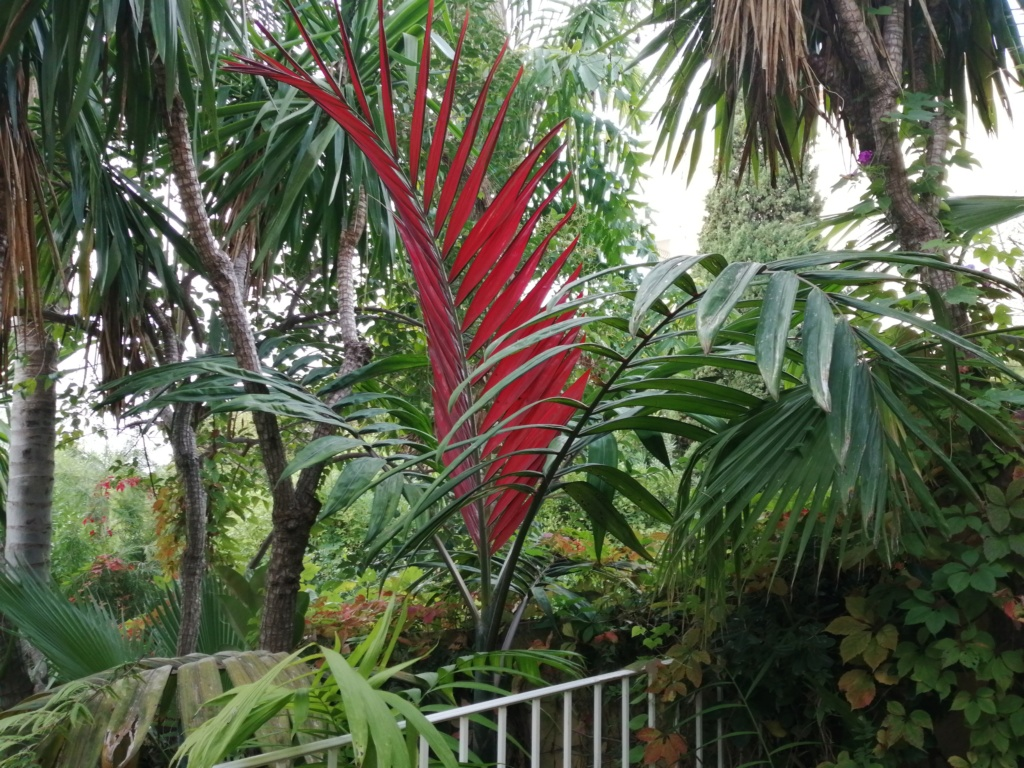 Chambeyronia macrocarpa C_macr10