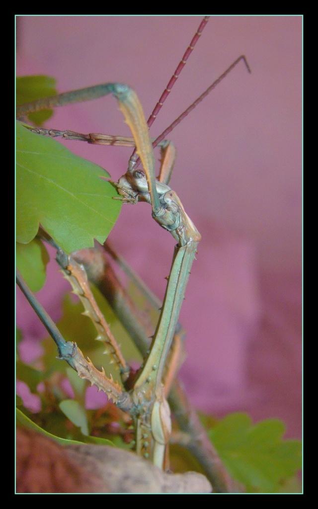 Achrioptera fallax (PSG 327) - Page 2 Photo107