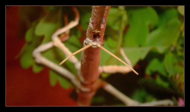Achrioptera fallax (PSG 327) - Page 2 Photo109