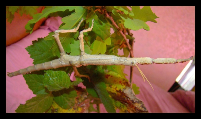 Achrioptera fallax (PSG 327) - Page 2 Photo110