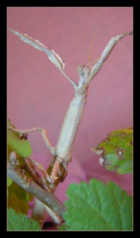 Achrioptera fallax (PSG 327) - Page 2 Photo111