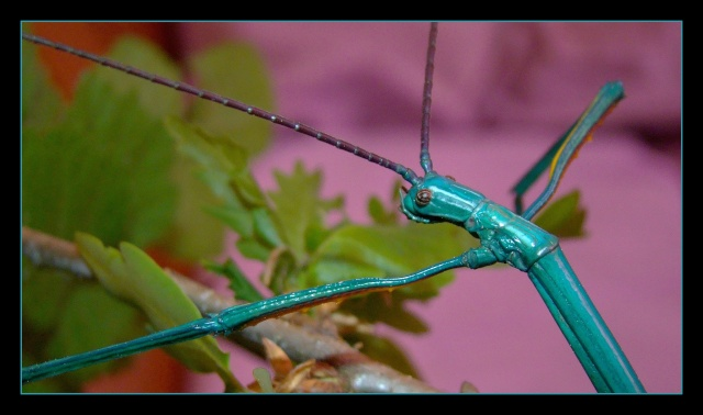 Achrioptera fallax (PSG 327) - Page 2 Photo112
