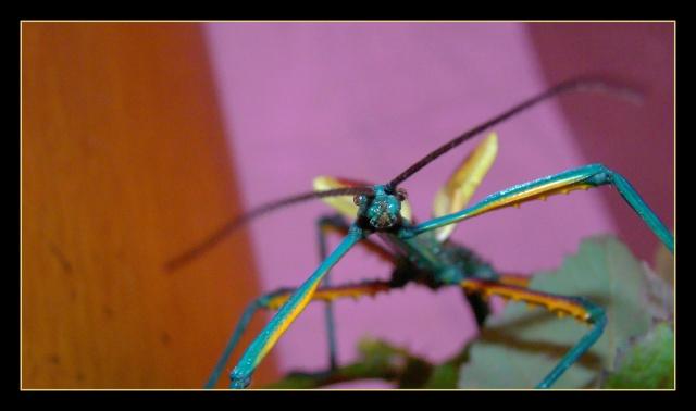 Achrioptera fallax (PSG 327) - Page 2 Photo113
