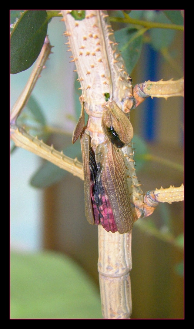 Achrioptera fallax (PSG 327) - Page 2 Photo123