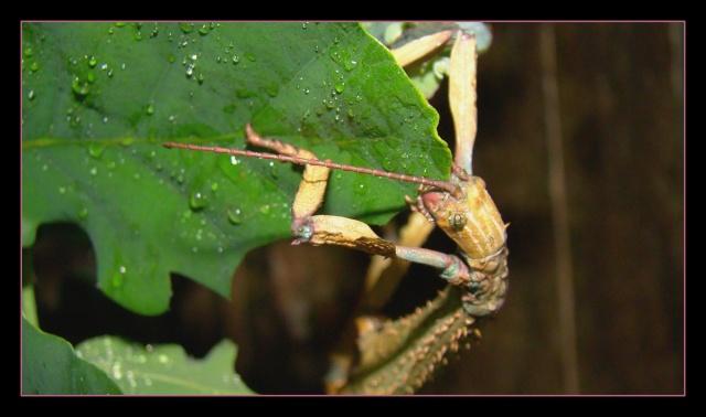 Achrioptera fallax (PSG 327) - Page 2 Photo124