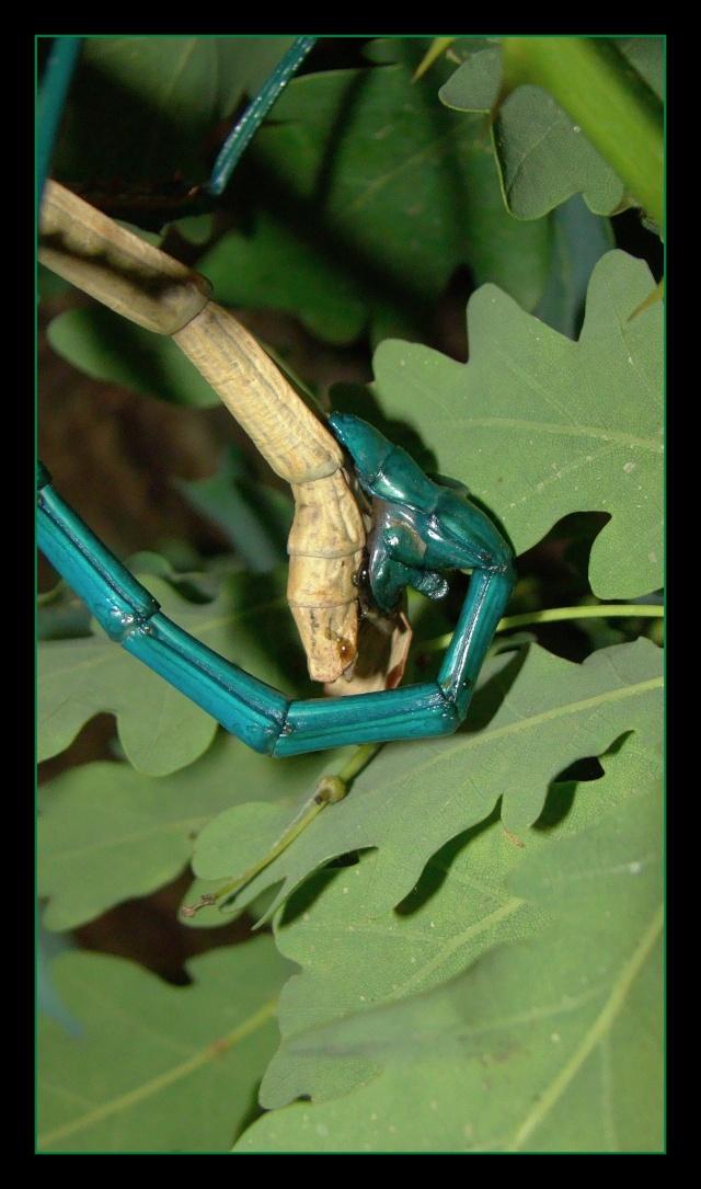 Achrioptera fallax (PSG 327) - Page 2 Photo150