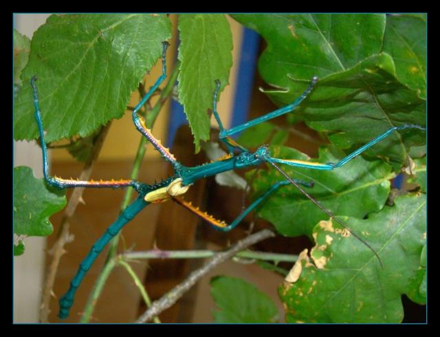 Achrioptera fallax (PSG 327) - Page 2 Photo163