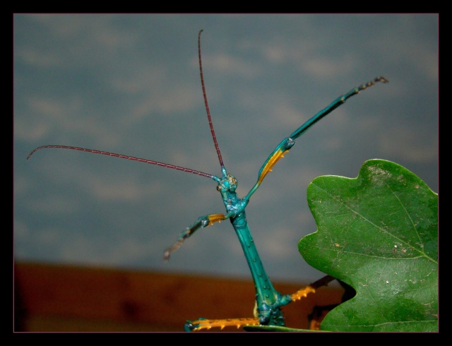 Achrioptera fallax (PSG 327) - Page 2 Photo164