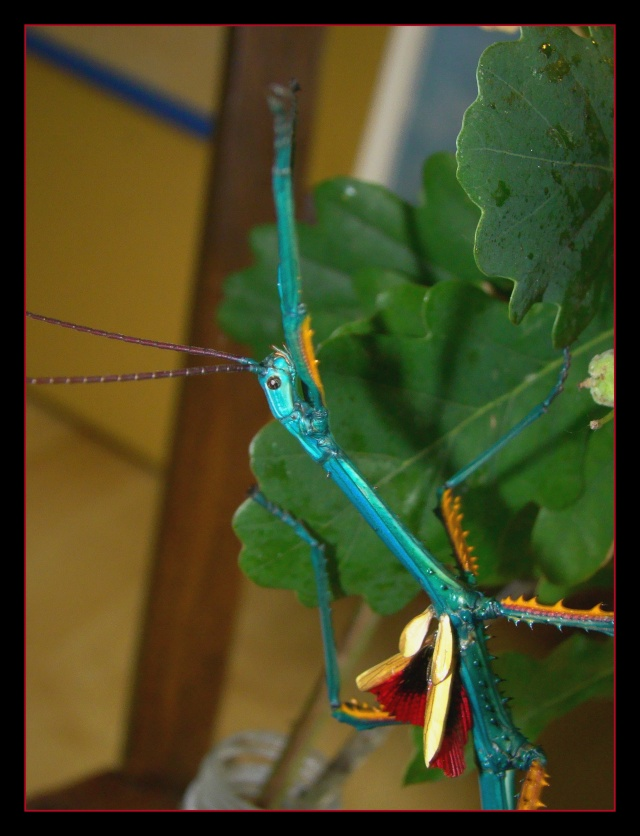 Achrioptera fallax (PSG 327) - Page 2 Photo165