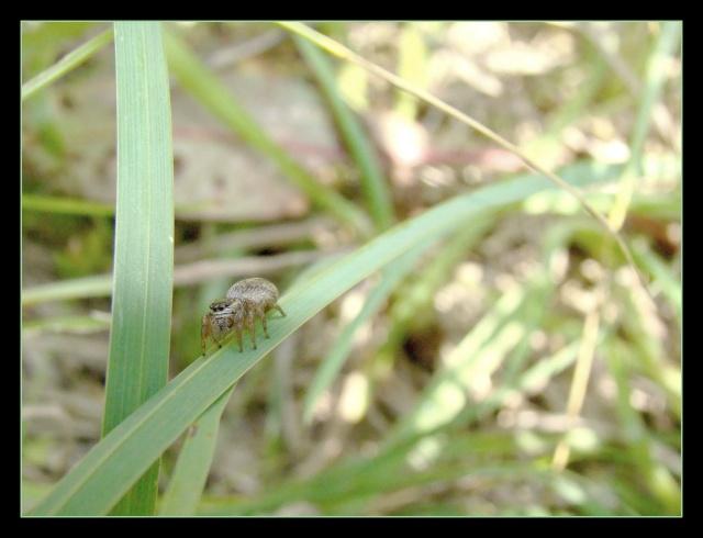 [à identifier] Salsticidae Photo181