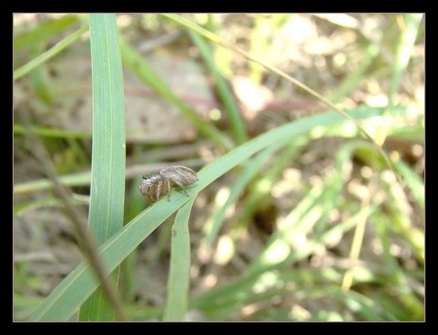 [à identifier] Salsticidae Photo182