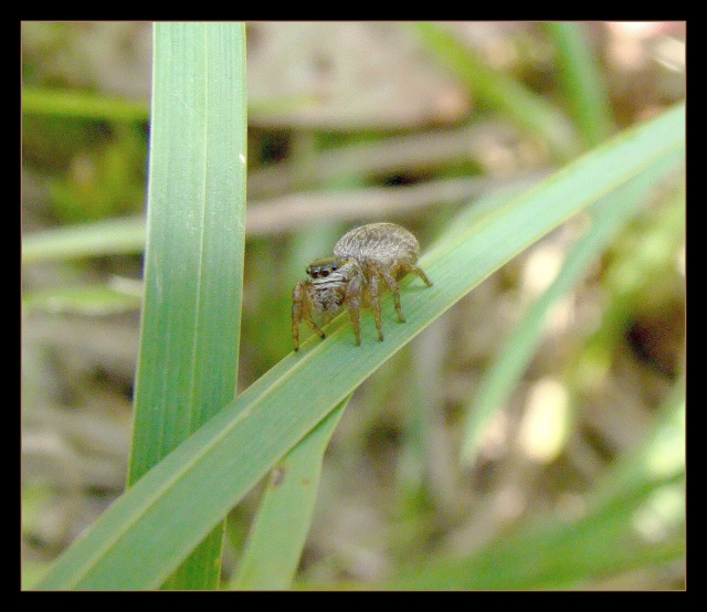 [à identifier] Salsticidae Photo185