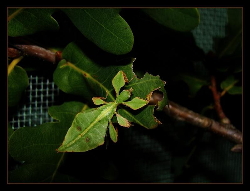 Phyllium westwoodii (celebicum) ( PSG 128) - Page 2 Photo_12