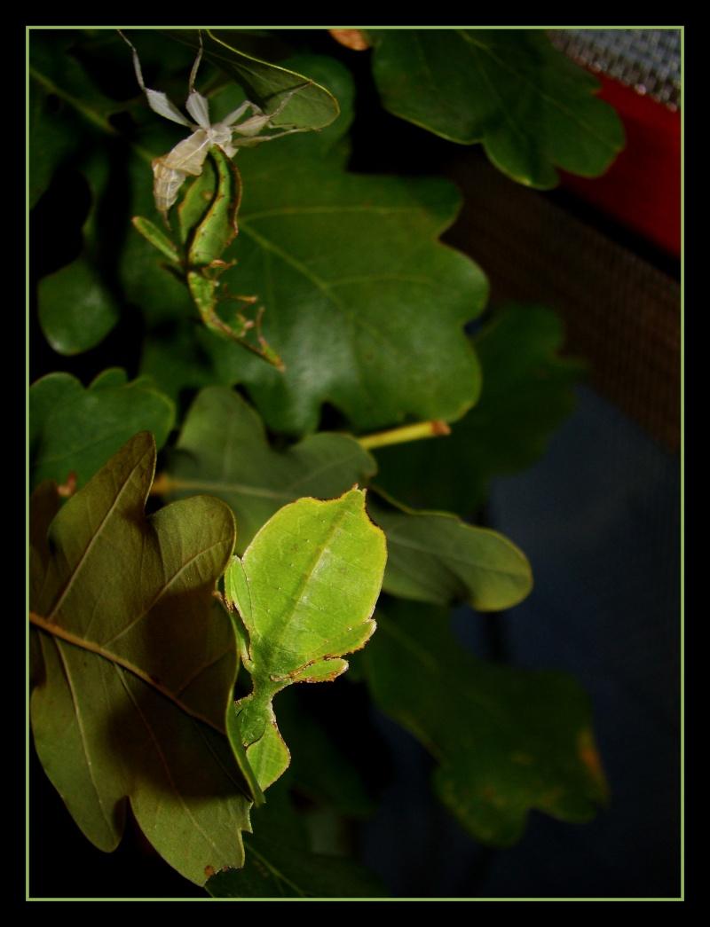 Phyllium westwoodii (celebicum) ( PSG 128) - Page 2 Photo_13