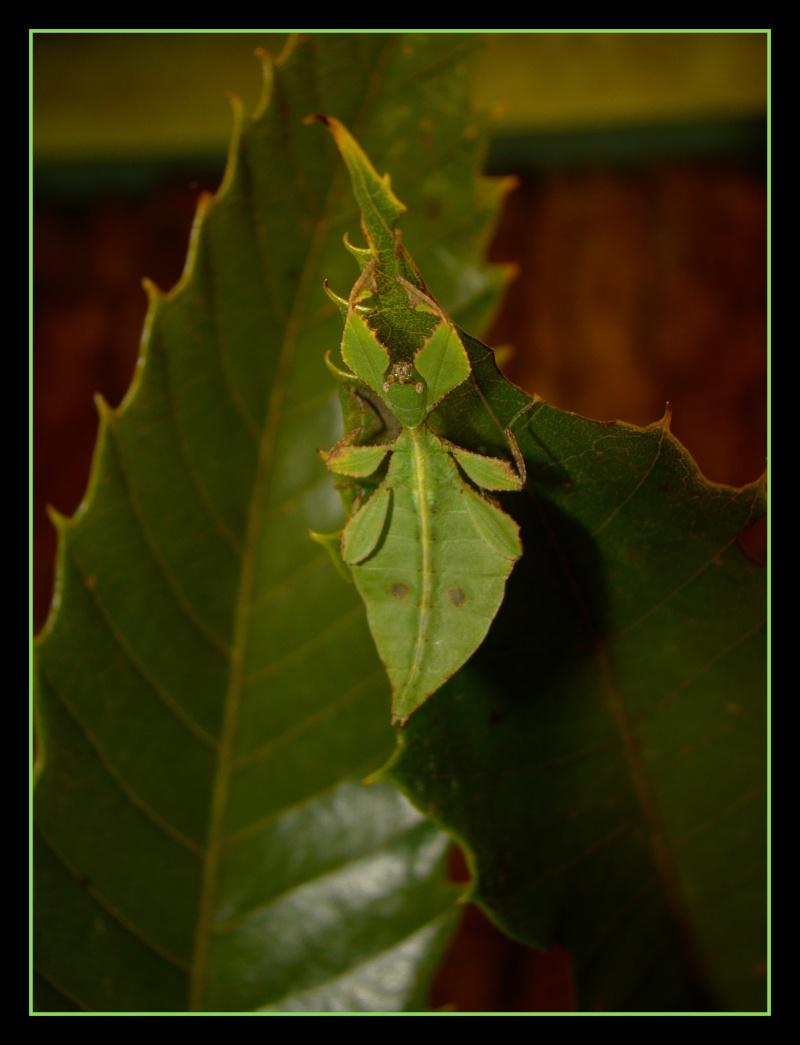 Phyllium westwoodii (celebicum) ( PSG 128) - Page 2 Photo_22