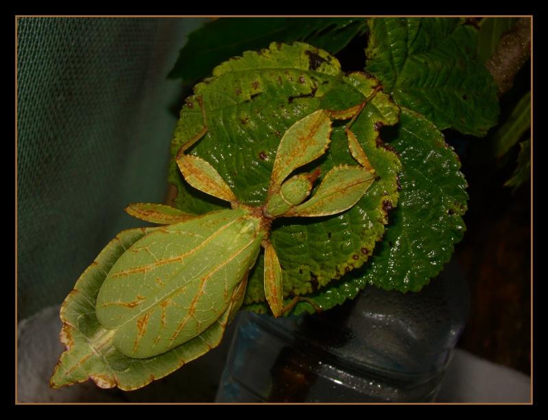 [Phyllium philippinicum (PSG 278)] Photo_23