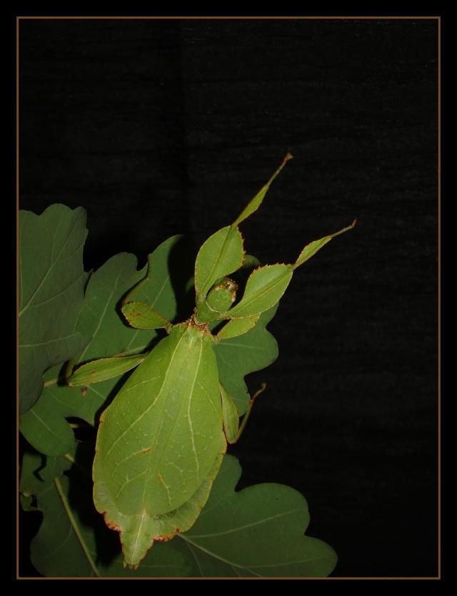 [Phyllium philippinicum (PSG 278)] Photo_27