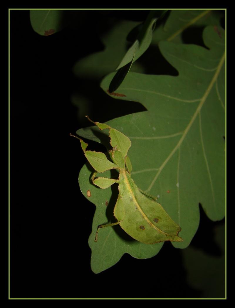 Phyllium westwoodii (celebicum) ( PSG 128) - Page 2 Photo_28