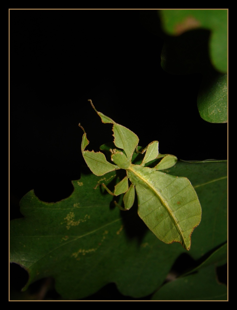 Phyllium westwoodii (celebicum) ( PSG 128) - Page 2 Photo_30