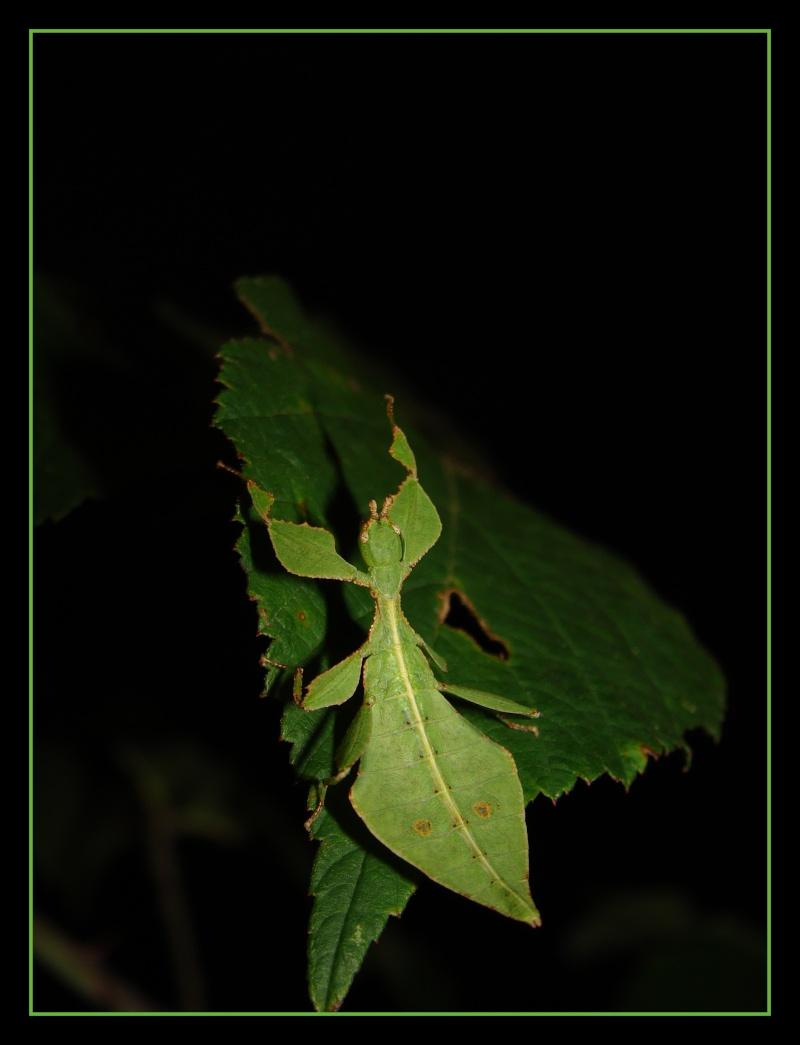 Phyllium westwoodii (celebicum) ( PSG 128) - Page 2 Photo_32