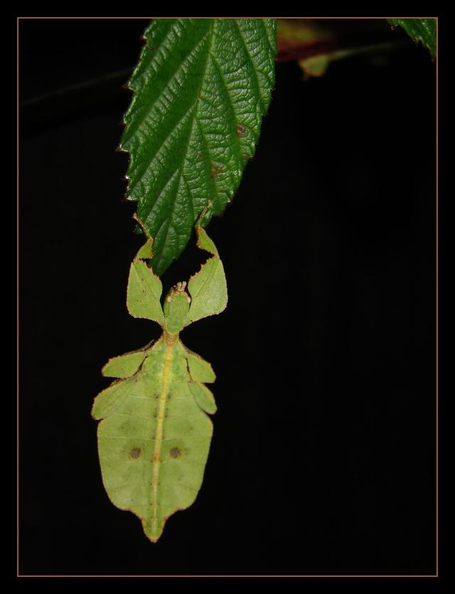 Phyllium westwoodii (celebicum) ( PSG 128) - Page 2 Photo_49