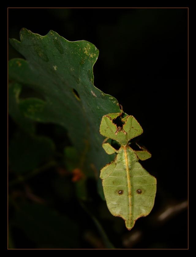 Phyllium westwoodii (celebicum) ( PSG 128) - Page 2 Photo_50