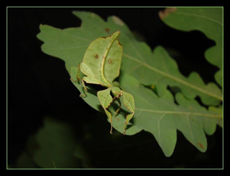 Phyllium westwoodii (celebicum) ( PSG 128) - Page 2 Photo_51