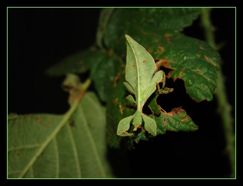 Phyllium westwoodii (celebicum) ( PSG 128) - Page 2 Photo_52