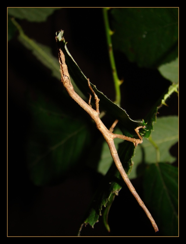 Achrioptera fallax (PSG 327) Photo_84