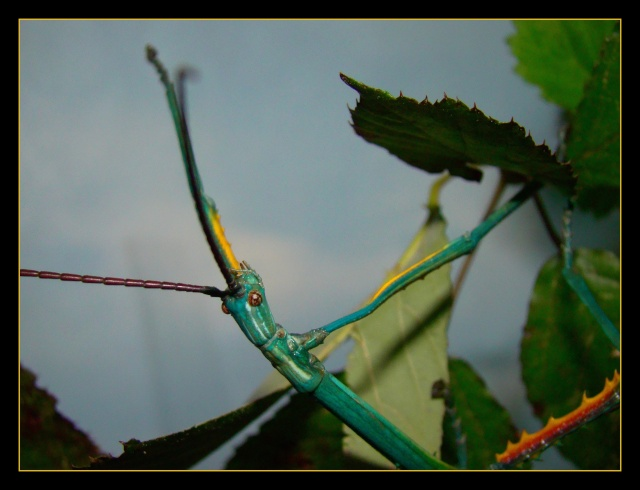 Achrioptera fallax (PSG 327) - Page 2 Photo_92