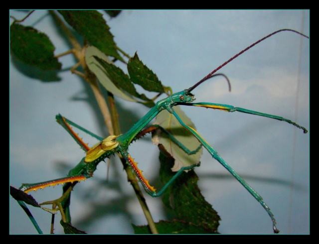 Achrioptera fallax (PSG 327) - Page 2 Photo_93