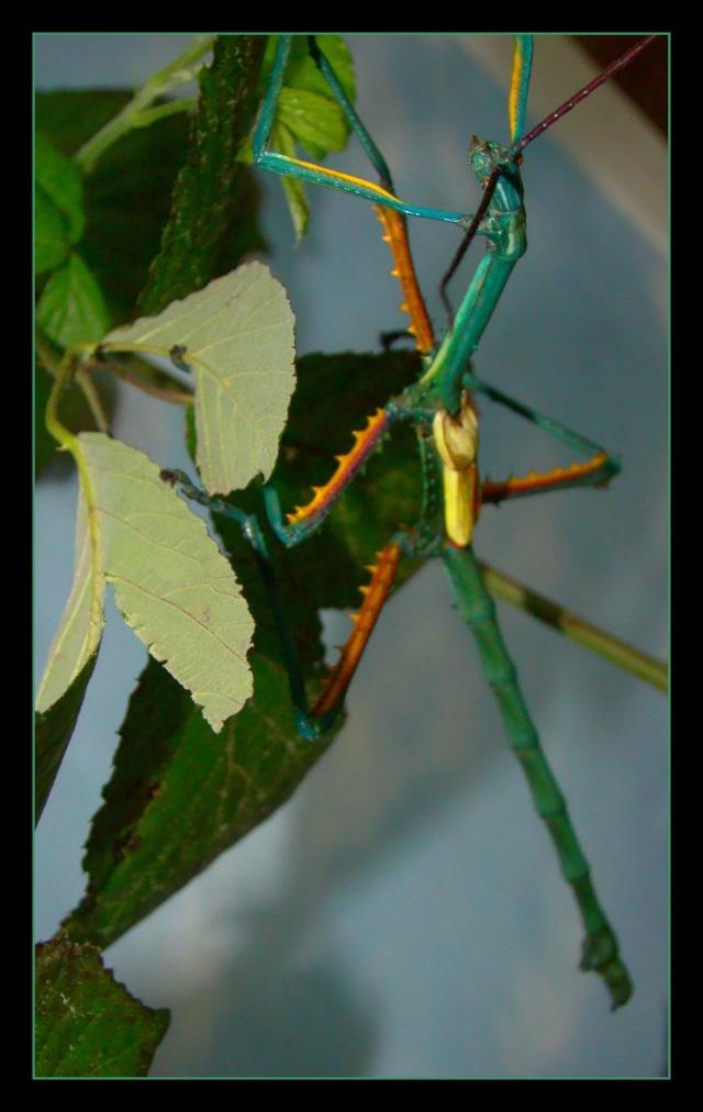 Achrioptera fallax (PSG 327) - Page 2 Photo_94