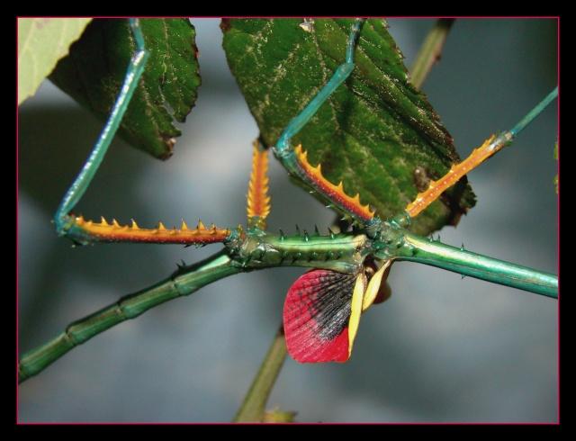 Achrioptera fallax (PSG 327) - Page 2 Photo_95