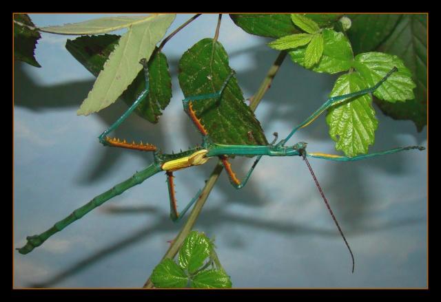 Achrioptera fallax (PSG 327) - Page 2 Photo_96