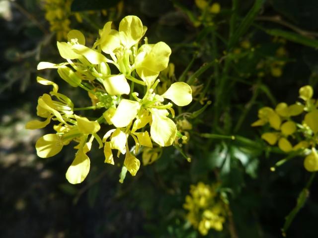 qui peut me dire : fleur de moutarde ? 00126