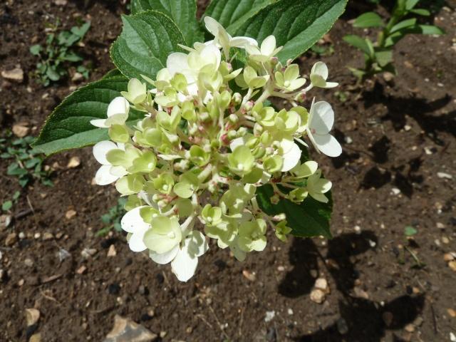 Hydrangea   Hortensia des jardins - Page 3 00138